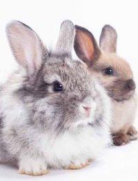 Endometriose beim Kaninchen