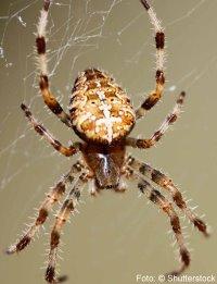 wie viel augen haben spinnen