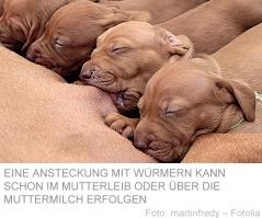 Endoparasiten Wurmbefall Bei Hund Und Katze Verband Deutscher
