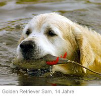 GOLDEN RETRIEVER SAM, 14 JAHRE